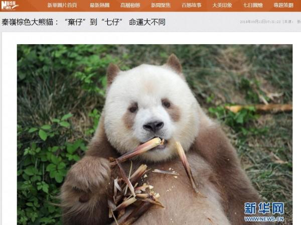 棕色大貓熊為一般大貓熊的秦嶺亞種,極為稀有,堪稱中國「國寶中的國寶」。圖為棕色大貓熊「七仔」。(翻攝自《新華網》)