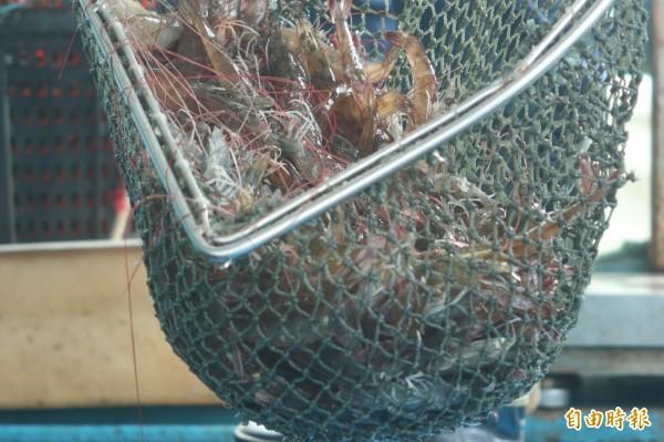 現撈起來的白蝦每隻都活跳跳。(記者廖淑玲攝)