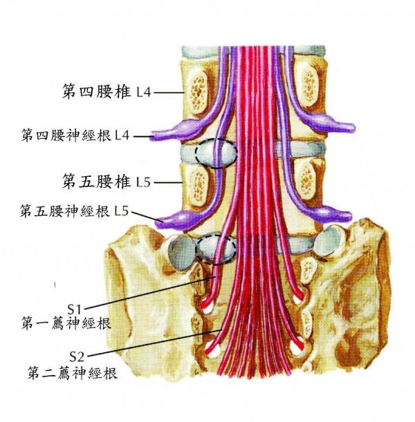 劉建廷舉例,每條脊神經支配皮膚表面不同的感覺範圍,像是第一薦神經根損傷,可能讓足底、足部外側及小腿後側出現酸、麻、痛、熱、脹等異常的感覺。(台北慈濟醫院提供)