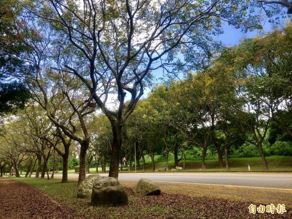 國立暨南國際大學有美麗的台灣欒樹大道。(記者佟振國攝)