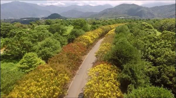 暨大教師透過空拍機拍下校園欒樹大道的美景。(圖由暨大總務長曾永平提供)