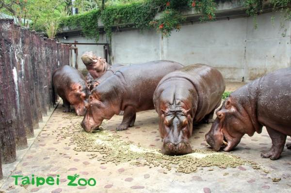 台北市立動物園指出,園內非洲動物區目前飼養9隻母河馬,每隻成年河馬每日約排放平均約6.6公斤的大便,因此21日上午10時30分,將進行每月1次的大水池清理工作,遊客能蒞臨體驗何謂「遍地是黃金」。(台北市立動物園提供)