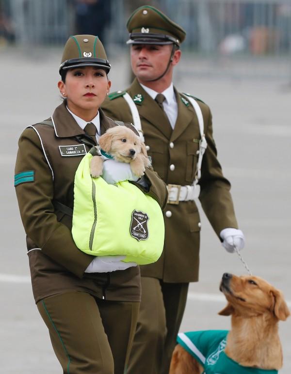 這隻狗僅有45天大,未來將成為警犬。(路透)