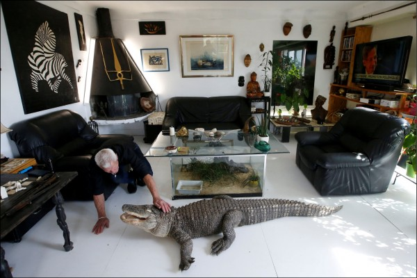 法國中部庫厄洪鎮67歲男子吉列在家中客廳餵他的短吻鱷阿里吃雞肉。(路透)