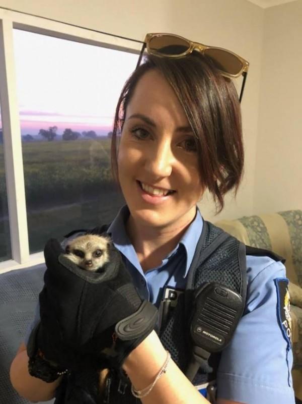 澳洲警方花了3天,才在130公里外找到被偷走的狐獴寶寶。(圖擷取自Western Australia Police Force Facebook)