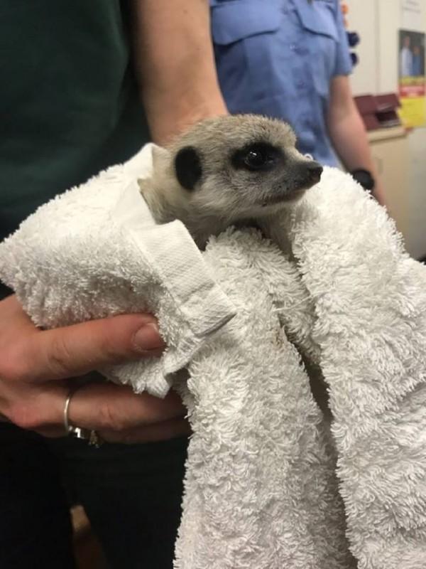 澳洲伯斯動物園日前在園內進行例行檢查時,發現1隻僅有1個月大的小狐獴不見了!(圖擷取自Western Australia Police Force Facebook)