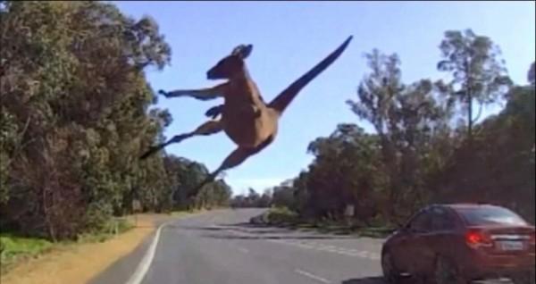 功夫袋鼠縱身一躍,輕鬆穿越車道,閃避車子。(圖擷取自每日郵報)