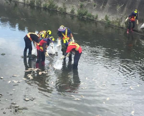 烏日區東園大排昨天傍晚開始出現大批死魚,烏日清潔隊員今天獲報進入大排,撈起近千公斤的死魚。(記者陳建志翻攝)