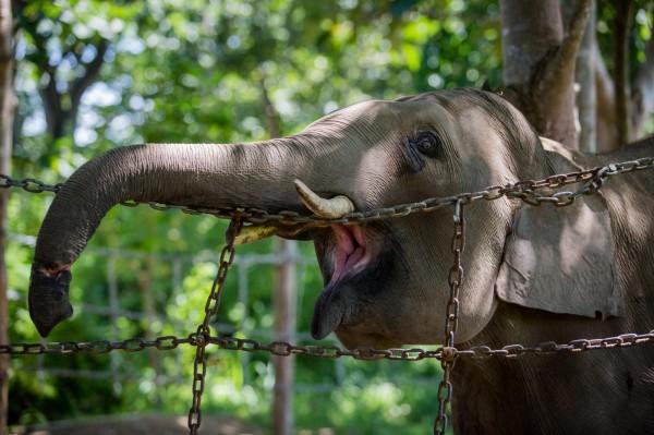 一名德國女觀光客日前在辛巴威馬納波爾斯國家公園,因靠得太近慘遭大象踩死。大象示意圖。(法新社)