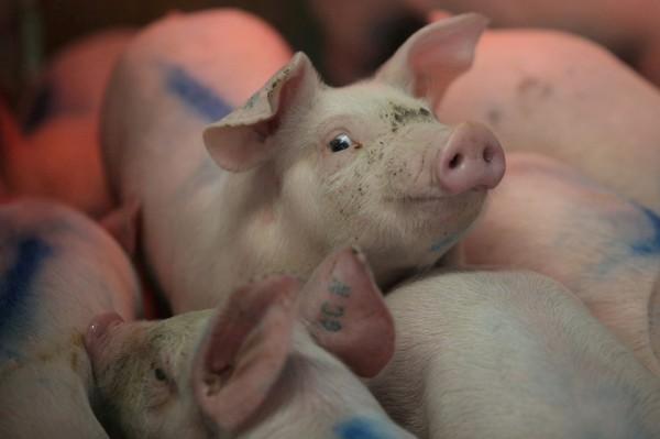中國吉林再傳出非洲豬瘟,為自8月爆發以來,中國境內發生的第26例疫情。(路透)