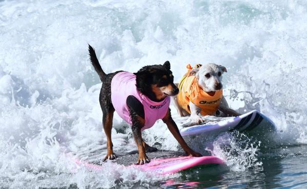 兩隻狗狗使出渾身解數,在「單狗衝浪」項目中互相比拚。(法新社)