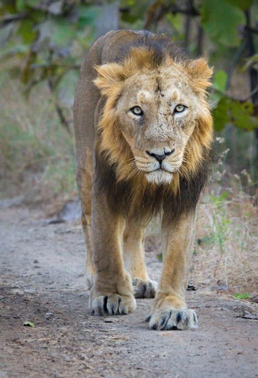 過去3週發現有23隻目前僅生活在印度古茶拉底邦的亞洲獅(圖)死亡,其中5隻於會經由接觸傳染的犬瘟熱病毒(CDV)。(翻攝自維基百科)