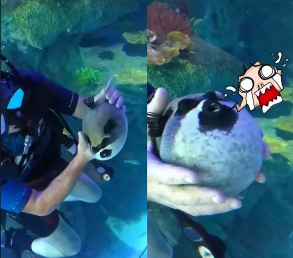 1名潛水客在珊瑚礁中找到了1隻「蒙面河豚」,伸出雙手逗弄牠。(圖擷取自Explore The World)