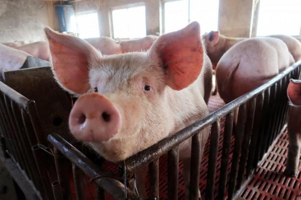 中國今(9)日起禁止輸入日本、比利時與保加利亞的豬肉、野豬與相關製品。(資料圖 路透)