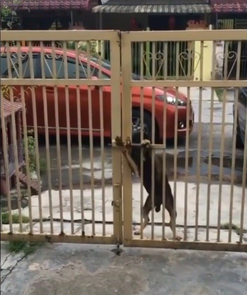 工讀生出來!小黑狗被關在門外 自己拉開門閂回家