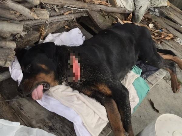 狗狗長期期被項圏緊勒,解開後露出長長一道傷口。(記者顏宏駿翻攝)