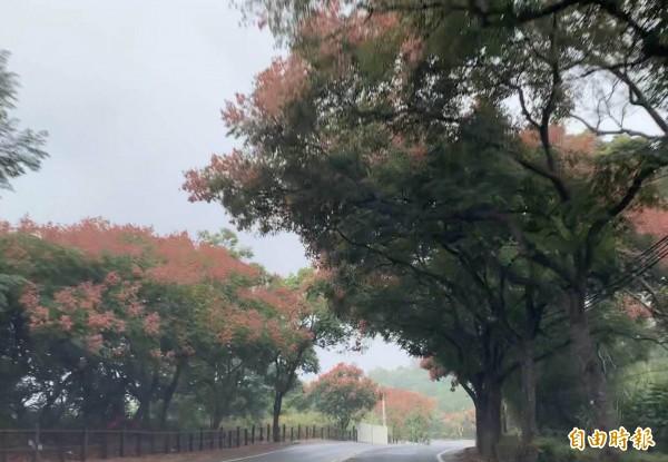彰化市八卦山台灣欒樹紅色氣囊狀的蒴果綿延2公里,浪漫極了。(記者湯世名攝)