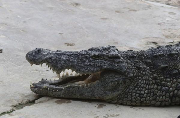 澳洲日前傳出1名女子在河岸採集貝類,慘遭鱷魚一口咬住、「玩」到慘死的悲劇。(歐新社)