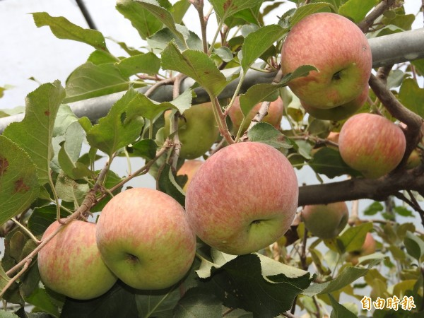 台大梅峰農場的富士蘋果進入產期,顆顆飽滿。(記者佟振國攝)