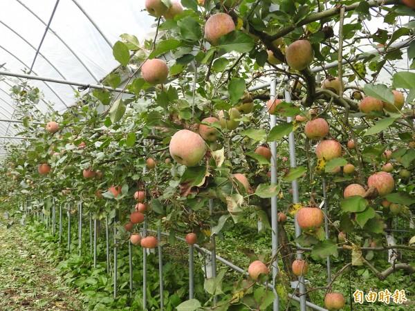 台大梅峰農場栽種11個品種蘋果,其中以富士蘋果最多。(記者佟振國攝)