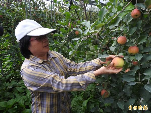 採摘蘋果有撇步,就是一手托著蘋果,一手輕握枝條,托蘋果的手輕輕向上接提即可摘下。(記者佟振國攝)