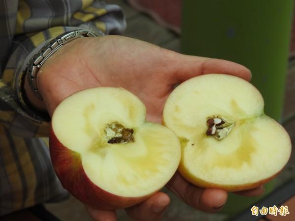 今年入秋冷得早,已有成熟的富士蘋果出現結蜜情形,滋味更加鮮甜。(記者佟振國攝)