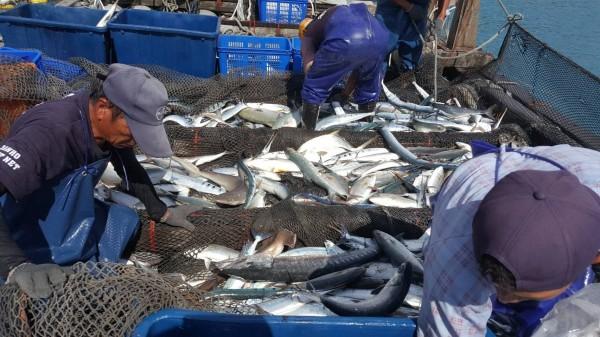 三和漁場船筏再啟航,漁穫滿載。(記者陳賢義翻攝)