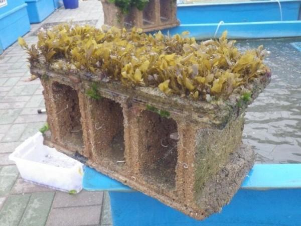 澎湖縣水產種苗繁殖場,在空心磚種植馬尾藻成效良好。(澎湖縣種苗繁殖場提供)