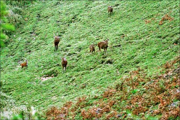 玉山國家公園管理處人員本月初在塔塔加鹿林山附近,首度發現7隻保育類水鹿群聚行動,包含1隻公鹿、4隻母鹿及2隻小水鹿,研判是水鹿一家正在覓食。(圖︰玉管處印莉敏提供)