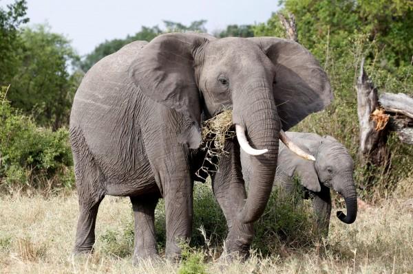 教授斯文寧表示,少數大型哺乳類動物,如犀牛和大象等,都有迅速滅絕的危險性。(路透)