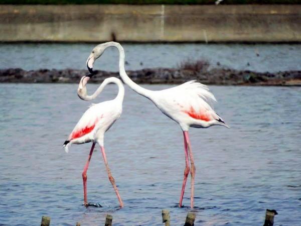 大紅鶴過去曾被記錄到2隻,因其體態及動作優美,素有「鳥界名模」之稱。(資料照,黃蜀婷提供)