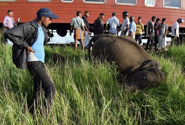 國寶大象常和火車相撞,斯里蘭卡政府要砸鉅資裝感應器阻止撞擊悲劇。(法新社)