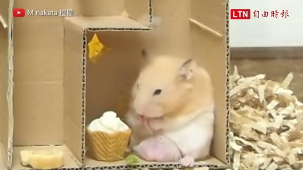 製作迷宮給倉鼠尋寶,沒想到最後牠竟然用暴力的方式破解。(圖片由M nakata授權提供使用)