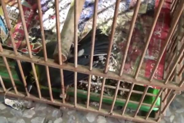 警方搜索時,見1隻黃山雀已死於籠中。(記者張瑞楨翻攝)