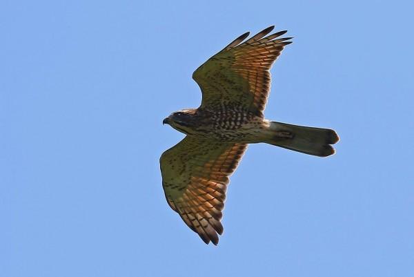 滿州灰面鵟鷹過境數量,今年再創超「鵟」新高,至今累計已有5萬9709隻。(記者陳彥廷翻攝)