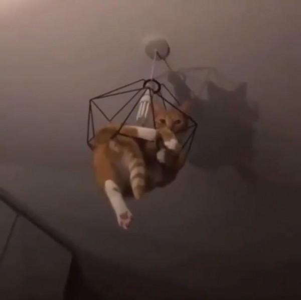 頑皮貓貪玩受困吊燈上 主人不救先錄影笑到岔氣