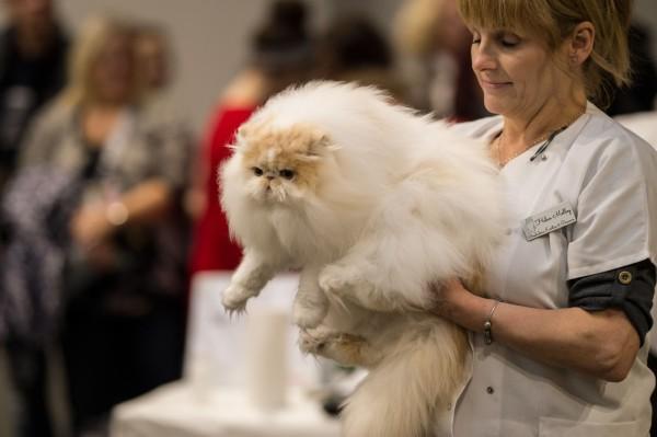 英國中部城市伯明罕昨(27)日舉辦了歐洲最大的貓咪選美比賽「超級貓咪秀」。(法新社)