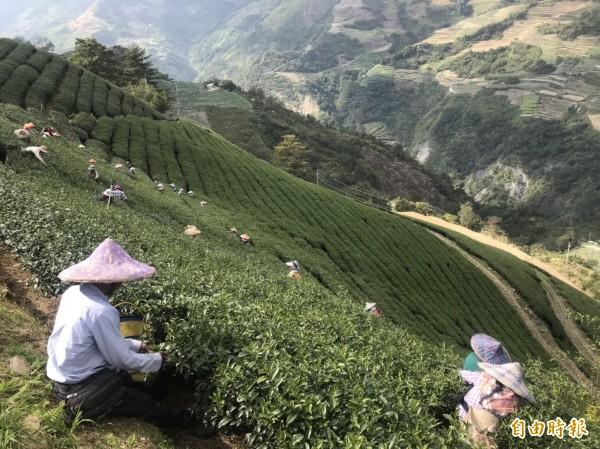仁愛鄉中高海拔茶區冬茶進入產期,但受初秋山區低溫影響,產量不如預期。(記者佟振國攝)