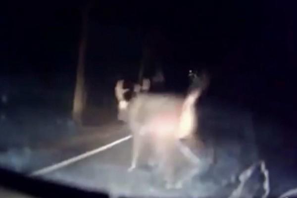 彰化市八卦山139線驚見「超巨型野鹿」,比機車還大,險些與機車相撞。(翻攝臉書139、148縣道追焦團)