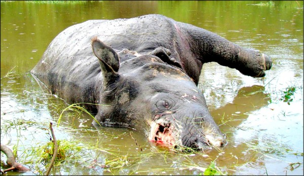 野外已剩下不到兩千五百頭的印度犀牛,其中一隻在二○○八年六月六日,橫屍於印度東北部阿薩姆邦的全球最重要印度犀牛保護區「加濟蘭加國家公園」,但缺了頭上的角。在此之前,該年至少有十隻犀牛於該邦兩座國家公園遇害,其中八起發生在加濟蘭加國家公園,疑遭偷獵者割角賣到叫價上萬美元的中國和東南亞。(路透檔案照)