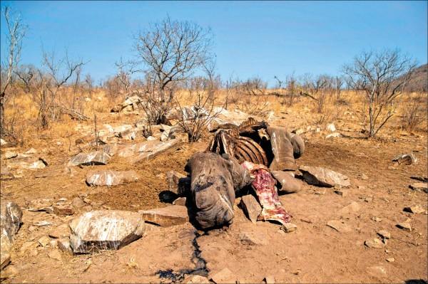 世界自然基金會(WWF)三十日發布報告指出,全球野生脊椎動物數量在四十四年內減少六成。圖為南非克魯格國家公園裡,一頭母白犀牛遭獵殺後逐漸腐化。(法新社檔案照)