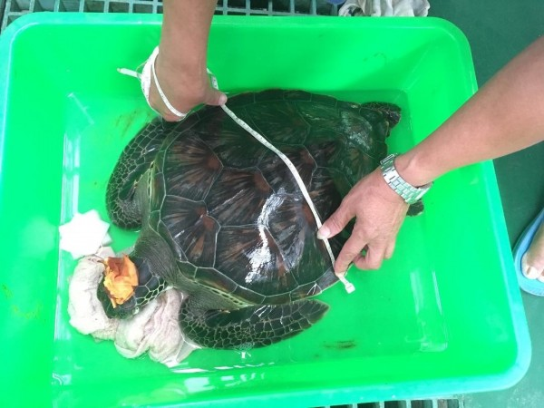 外垵漁民拾獲的漂流綠蠵龜,疑似遭船擊差點斷頭。(澎湖縣家畜疾病防治所提供)