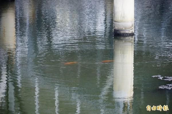 林邊光采濕地太陽能板下的水面有魚兒覓食。(記者陳彥廷攝)