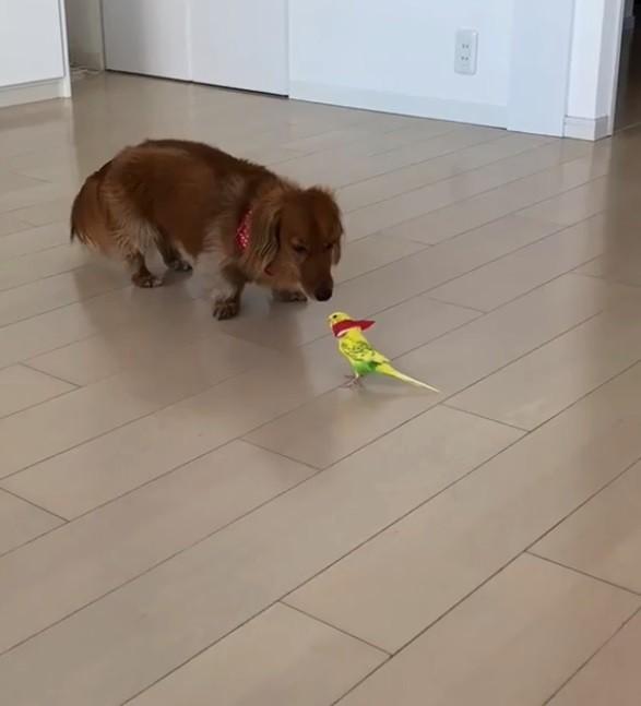 可愛鸚鵡緊追狗兄弟走廊「狂奔」 笨拙模樣萌翻網友