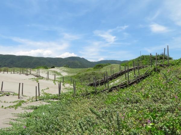 「銀合歡」變身海岸護沙,幫助植被覆蓋。(記者蔡宗憲翻攝)