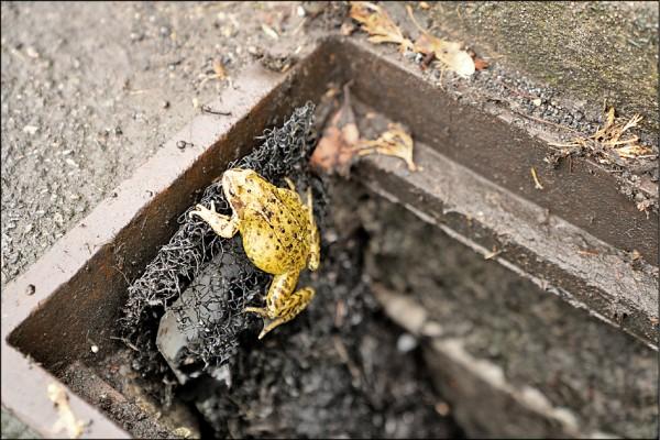 一隻青蛙正藉由英國兩棲爬蟲動物協會(The British Herpetological Society)設計的網狀「兩棲梯」爬出下水道。(路透)