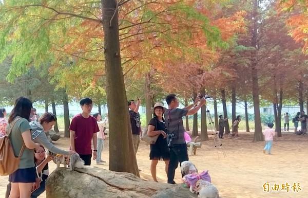 南投八卦山台地落羽松秘境吸引許多遊客慕名而來,連寵物狗也被美景吸引,與飼主一起賞景。(記者謝介裕攝)
