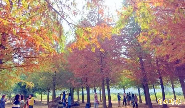 南投八卦山台地落羽松秘境目前上演換裝秀,綠色、金黃、橘紅交織出的秋意,美不勝收。(記者謝介裕攝)