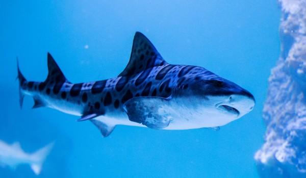 澳洲1名男子在衝浪時遭到鯊魚攻擊,導致腿部受傷,該名男子的腿部下方有數處咬傷,被咬得皮開肉綻。(示意圖,路透)