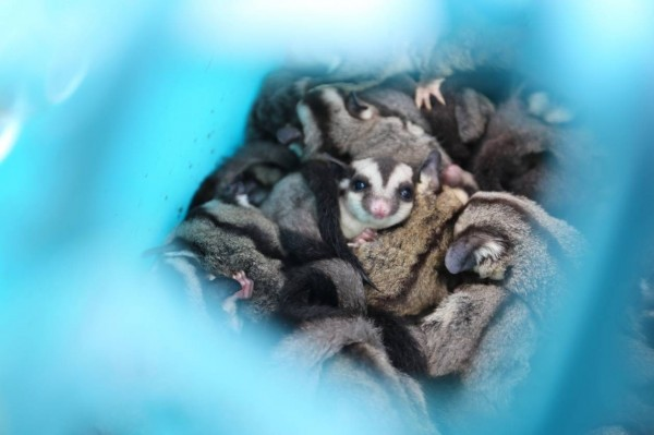 準備走私往中國的蜜袋鼯,可能被對岸當作寵物牟利。(圖由金門岸巡隊提供)